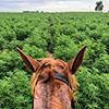 Cannabis horse