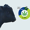 cattle cannabis