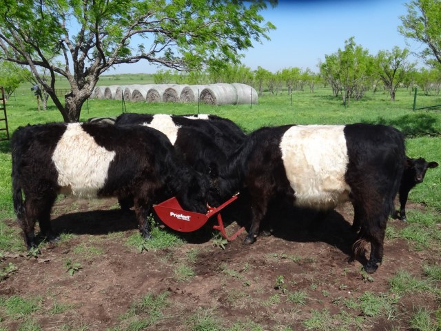 Oklahoma Ranchers Raise Uniquely Colored Textured Cattle