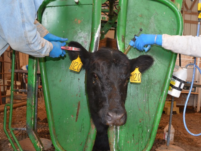 Pre-calving Vaccinations For Pregnant Cows
