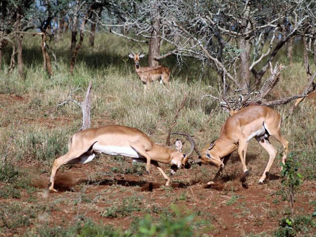 Fighting Impala