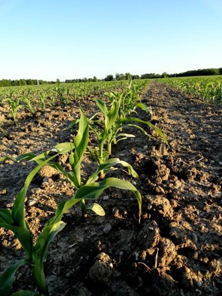 4 19 12 Illinois corn