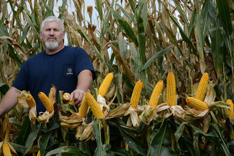Corn Line