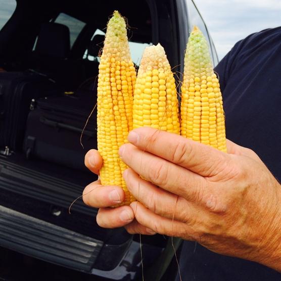 Illinois corn sample ears