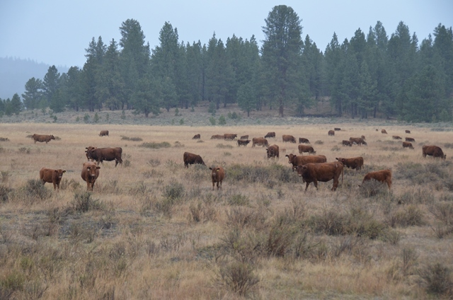 BT_Red_Angus_Commerial_Cattle