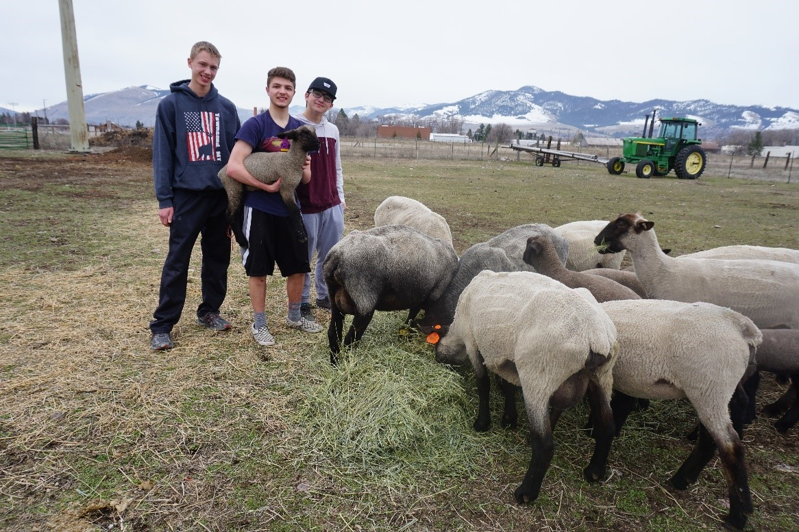 Missoula sheep