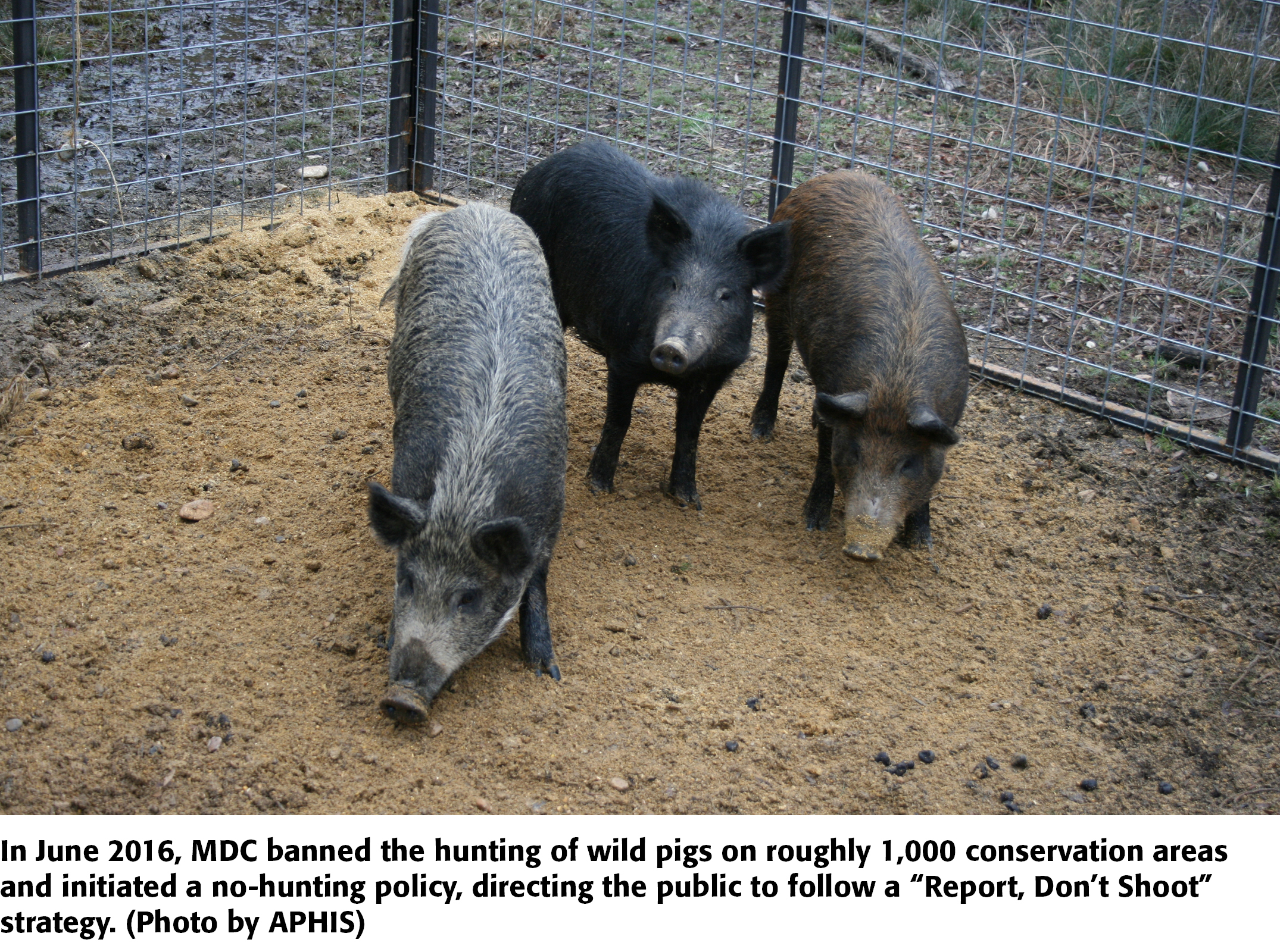 Wild Pig Wars Controversy Over Hunting Trapping In Missouri Agweb