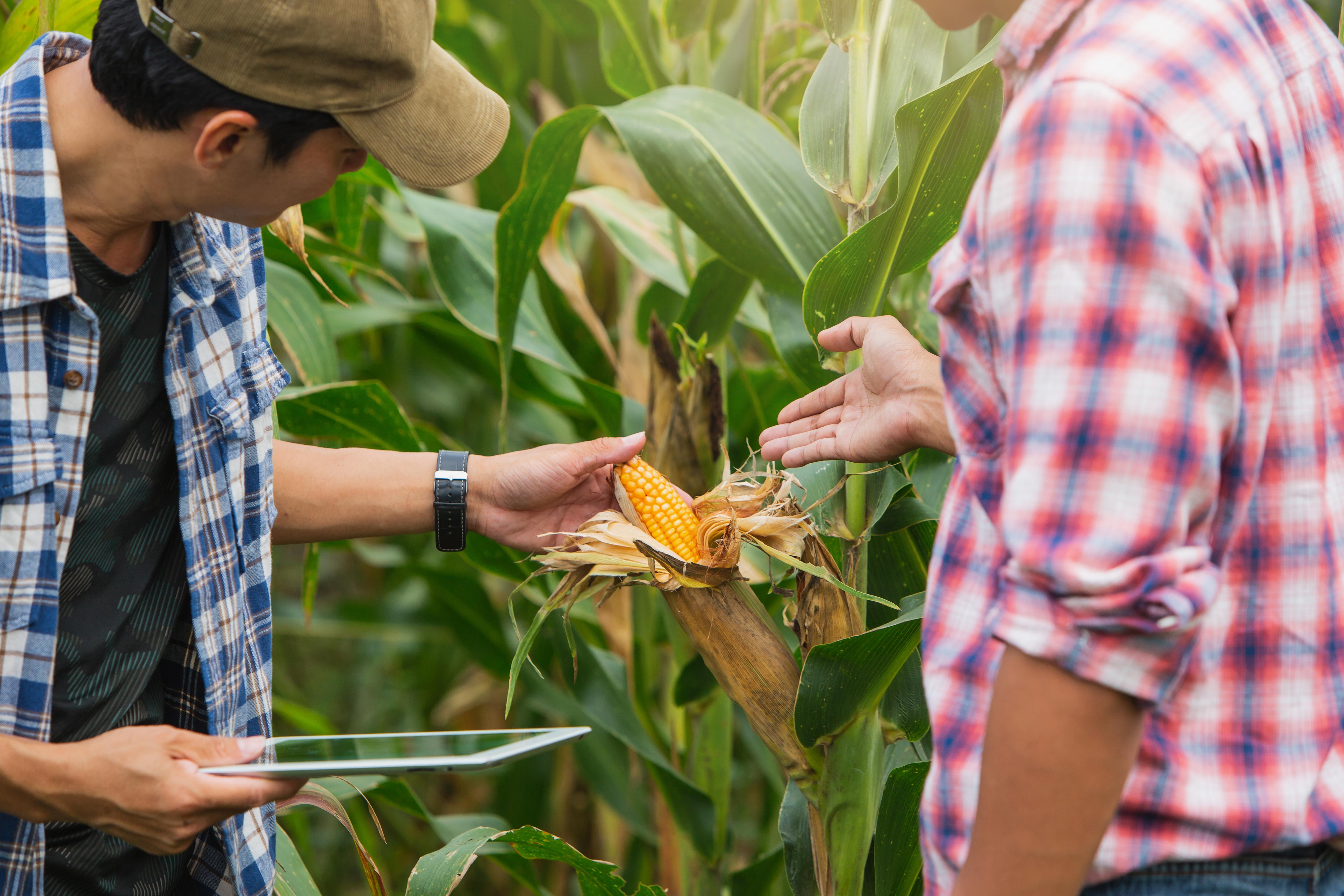 scouts observ corn
