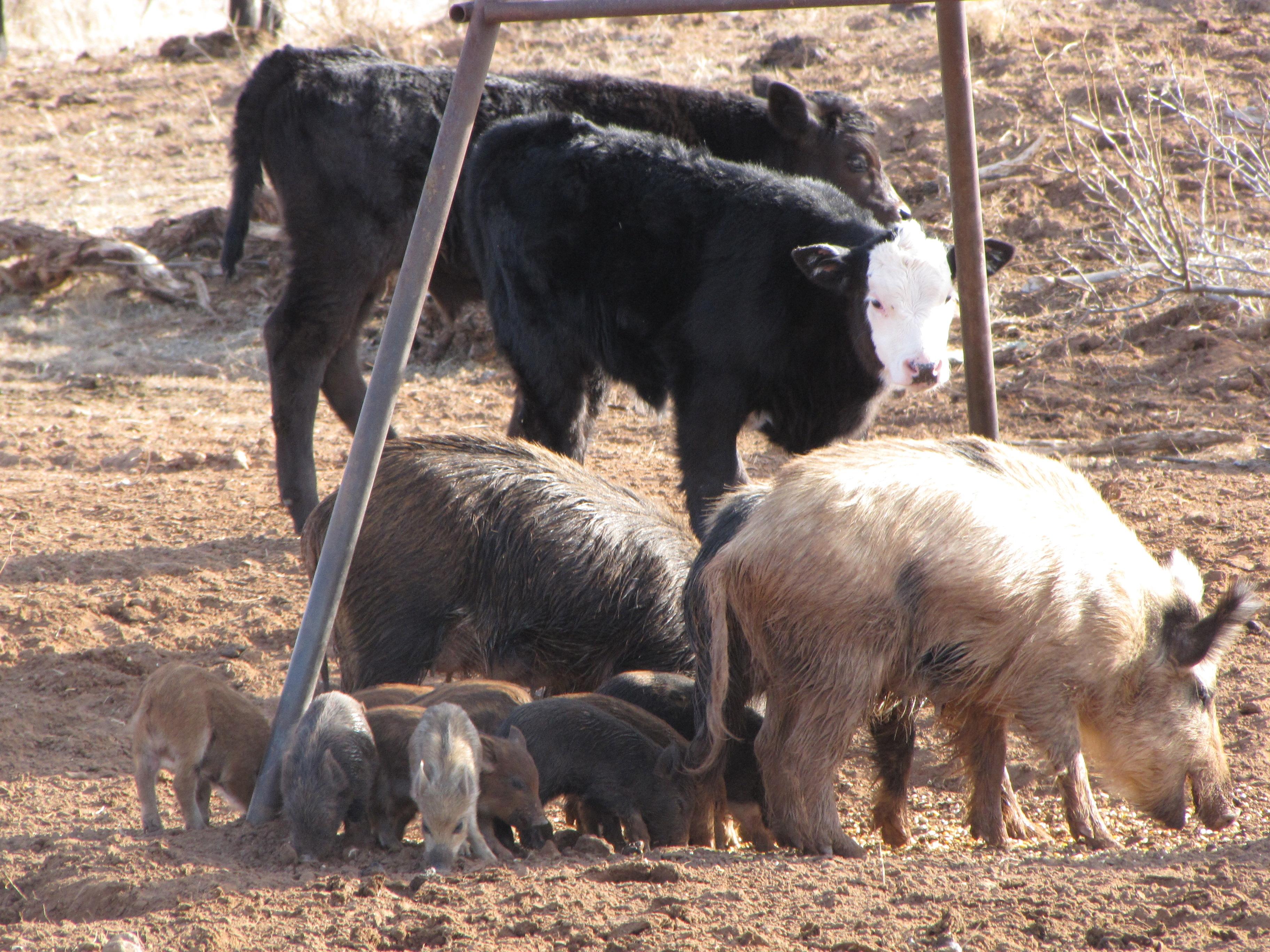 Wild pigs threaten U.S. livestock herd