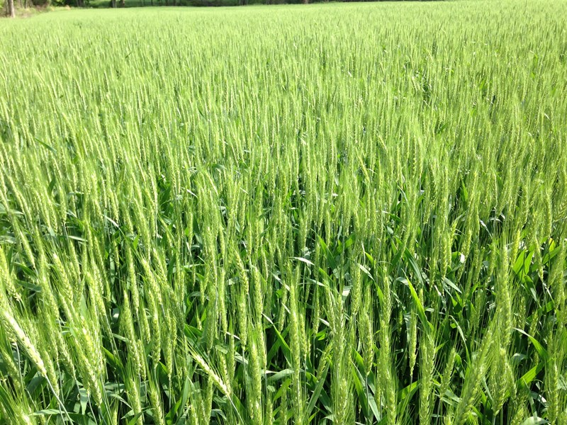 Indiana wheat cc 5 19
