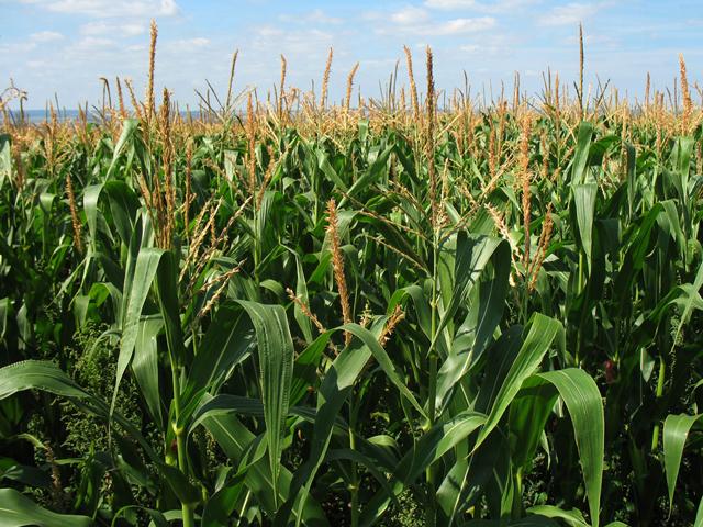 corn_July