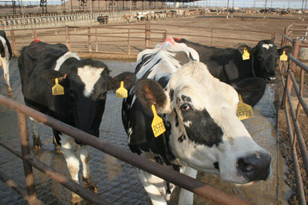 cows_in_corral
