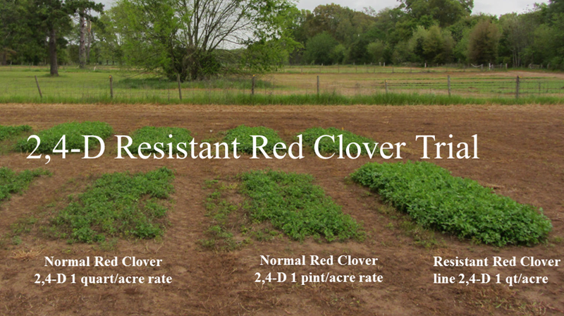 24 D Resistant Red Clover graphic