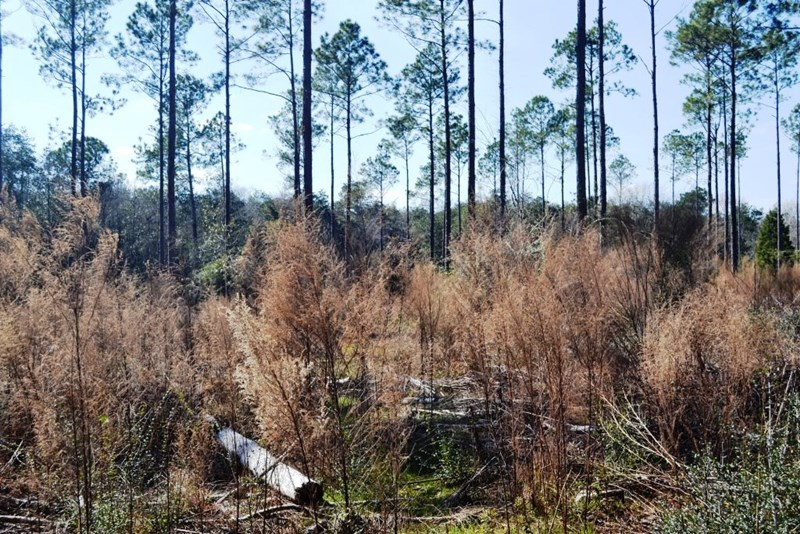 Dealing-with-understory-to-establish-grass-in-pines-c