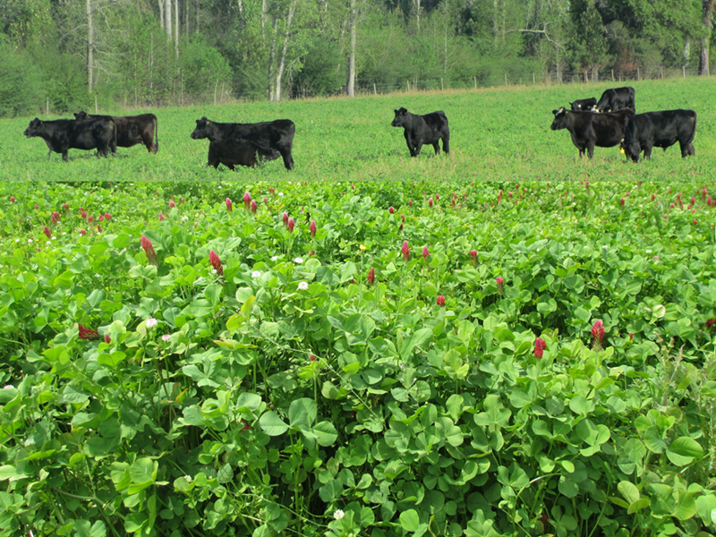 Cattle Grazing Crimson Ball Clover