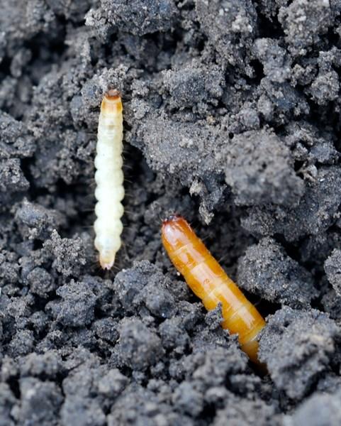 wireworm AmellillusAndLcalifornicus3