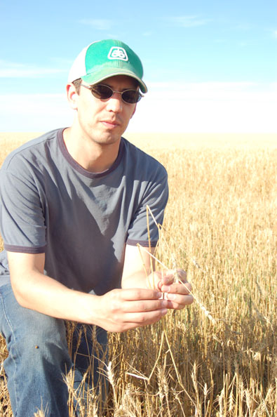 hail damaged wheat