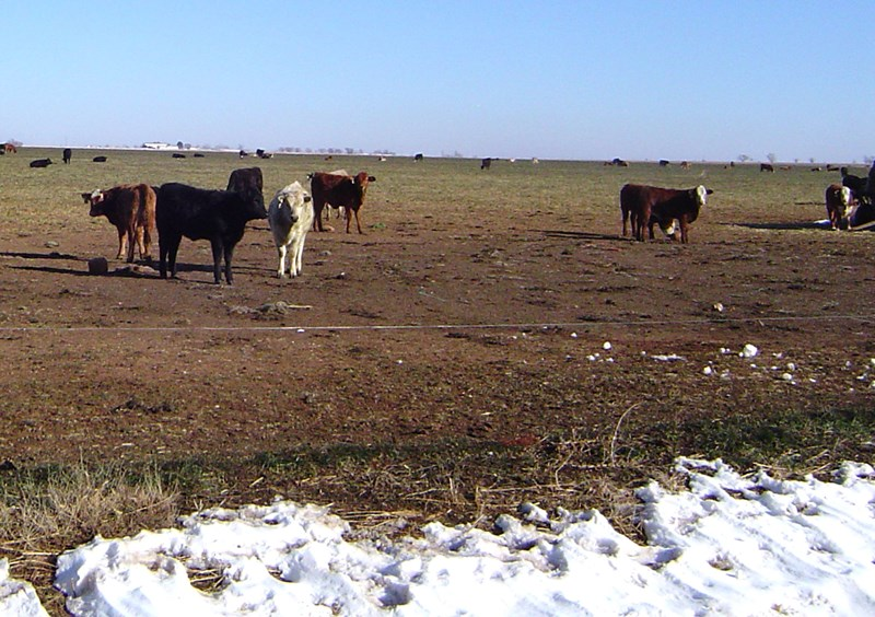 Jan_2,_2016_Cattle_on_wheat_east_of_Oklahoma_Lane