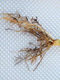 Watch Out for Corn Nematodes  3