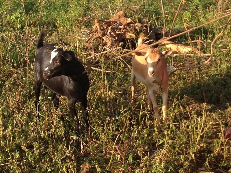 Dorotia_-_2_goats