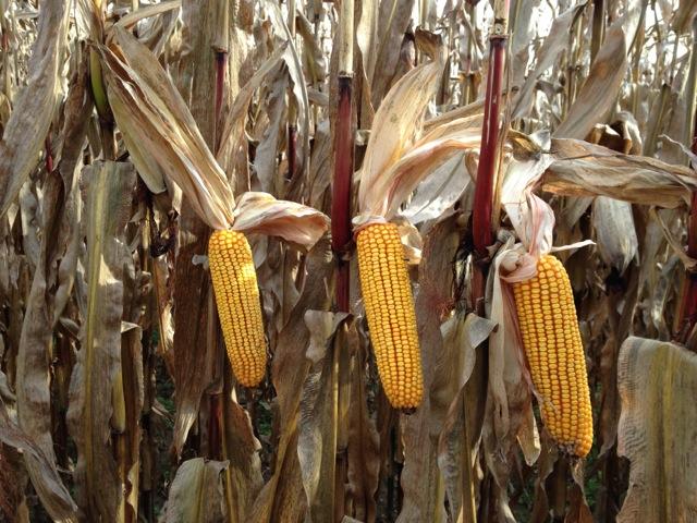corn_ears_harvest