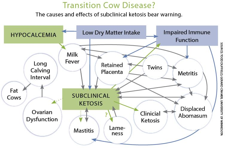 transition_cow_disease