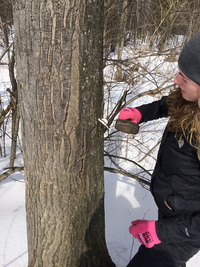 rachel_gingell_maple_tree_tapping_sap