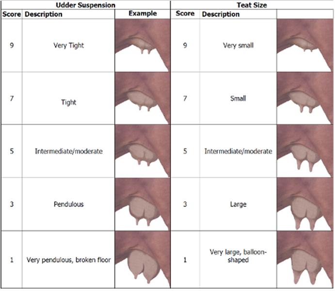 udder-chart