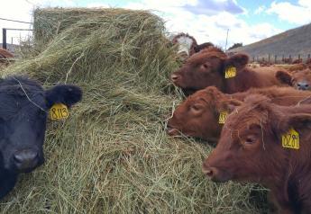 Weaning calves