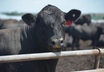 A fed steer in a feedlot.