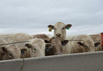 Cattle weights are declining