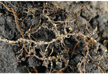 Soybean Cyst Nematode is the single most damaging pest in U.S. soybeans.