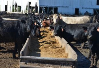 Feeder cattle sold uneven