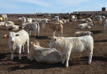 Texas feedyard