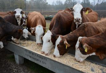 Grain feeding cows