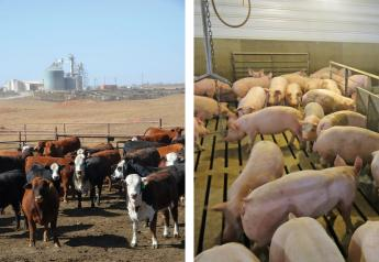 Cattle and hog feeding