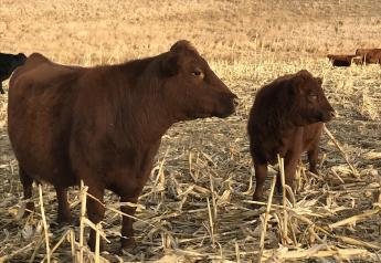 Cow and calf on corn stalks