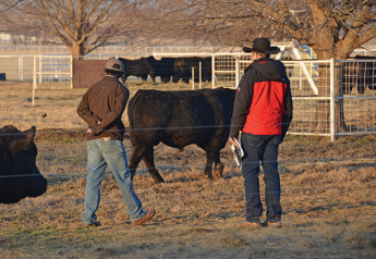 A good bull adds a lot of profit potential to a beef operation.