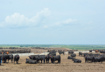Feedyard cattle
