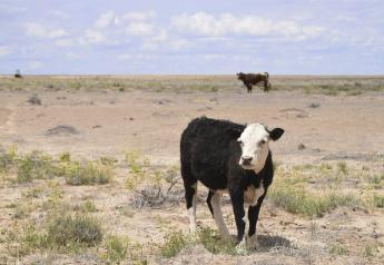 Cattle graze in the Shiprock, N.M., desert in this photo taken May 15, 2019. At least 17 cows have died this month, presumably from eating toxic plants on the range.
