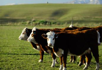 Hereford cattle produced for Silver Fern Farms