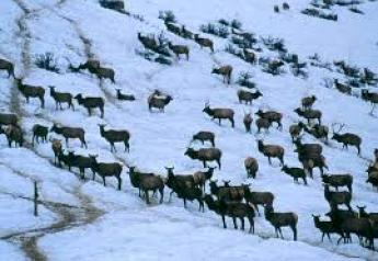 Elk winter feedgrounds could increase the risk of disease, such as brucellosis that can spread to cattle, due to the concentration of animals and unnaturally large elk populations.