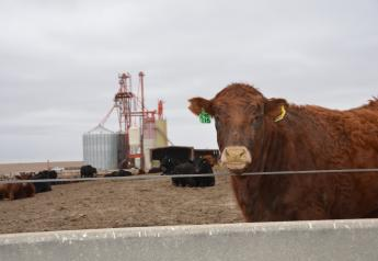 Feedlot steer