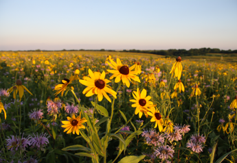 Native prairie with flowers