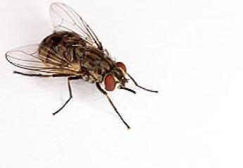 The adult stable fly is one of many biting, blood-feeding insects that aggravate livestock, pets and people.