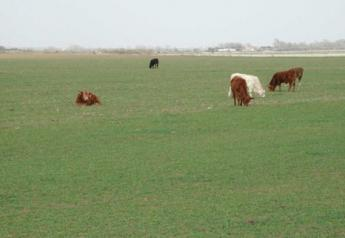 5 4 11 cattle on wheat