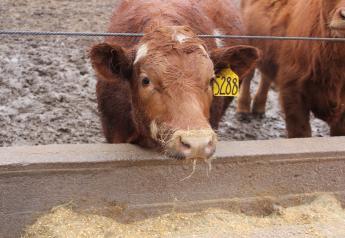 Cattle in a muddy lot.