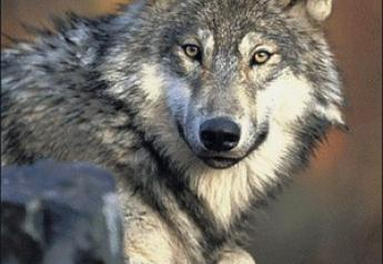 Wolf recovery is a controversial issue in Washington state.