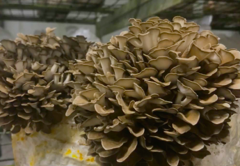 This year, the meal to be served at the Golden Globes will feature mushrooms instead of meat.