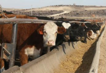 Cattle in feedyard